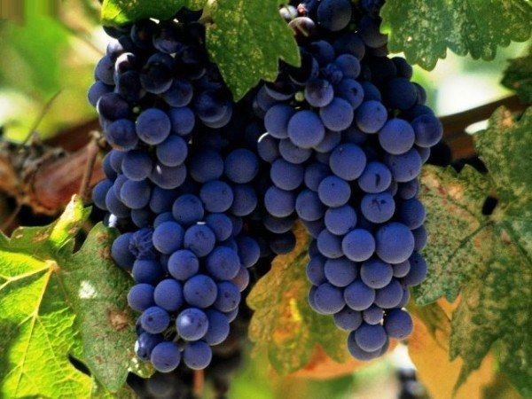 Аллергия на виноград на коже
